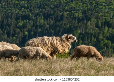 Sheep on inter-forest meadow, Transylvania