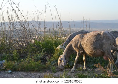 Sheep on Jesus Trail - hiking through Galilee countryside in spring time, Capernaum,
