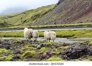 sheep on lava field, Eldgja, Iceland
