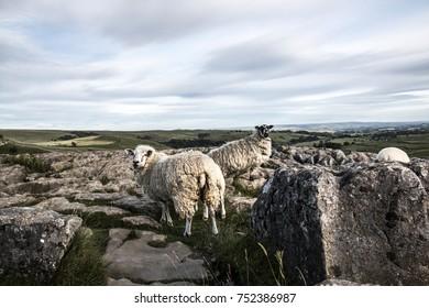 Sheep on Malham Cove
