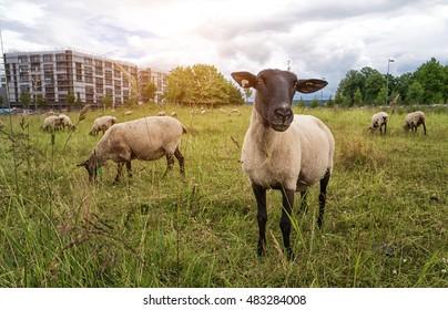 sheep on medow