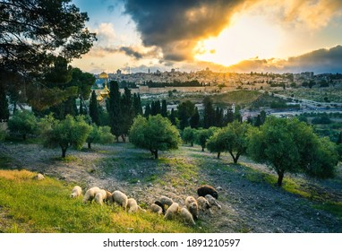 Sheep on the Mount of Olives - Beautiful sunset view of Old City Jerusalem: the Dome of the Rock and the Golden or Mercy Gate, with sheep grazing between olive trees on the Mount of Olives