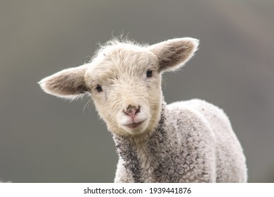 Sheep on the mountain eating pasture
