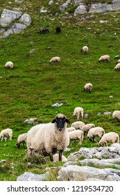 Sheep on the mountain fields in Durmitor National Park, Montenegro.