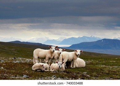 sheep on the mountain of the Vesteralen close to Andenes
