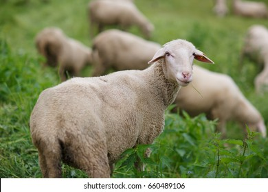 Sheep on pasture at a sheep farm in the Alps