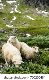 Sheep on the pasture. Free grazing in mountains.