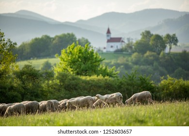 Sheep on the pasture. Sheep on grazing, walking on a mountain meadow. Beautiful mountain country. Europe Country Slovakia.