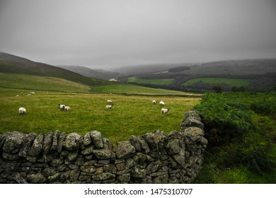 Sheep On Pasture With Stone Wall At Rainy Weather In Scotland