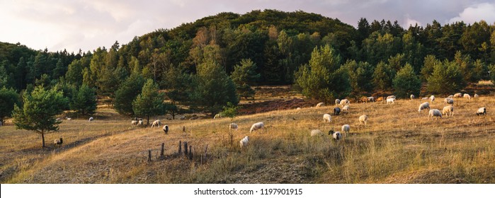 Sheep on a pasture, Teutoburger Wald, Germany