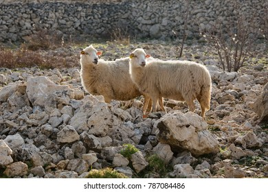 Sheep on pasture - two female long-tailed sheep, island Pag, Croatia, long-tailed sheep on desert pasture going away, island Pag, paski sir, Pag cheese, sheep cheese, agriculture, bio food, eco farms