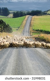 Sheep on a road in New Zealand.