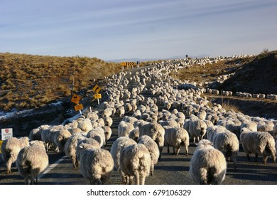 Sheep on the road, NZ