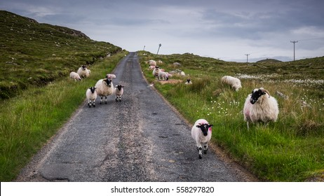 Sheep on the road in Scotland highland