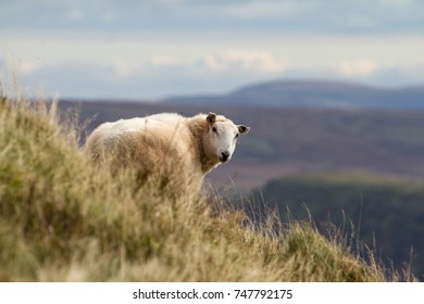 Sheep on rural Welsh hillside in the Brecon Beacons, Wales, UK