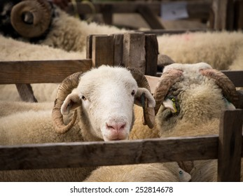 Sheep on show at Penistone Country Show