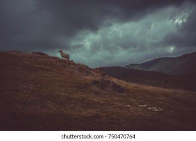 Sheep on snowdon mountain
