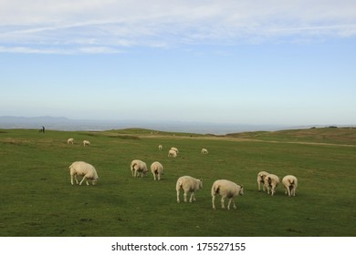 Sheep on top of Cleeve Common near Cheltenham, Gloucestershire. The highest point in the Cotswold with Cleeve Hill Golf Club and golfer in background