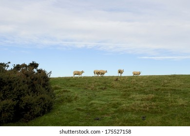 Sheep on top of Cleeve Common near Cheltenham Gloucestershire.  Cleeve Hill is the  highest point in the Cotswolds with gorse in foreground.