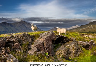 Sheep On Top Of Rocky Hill In Scenic Rural Landscape In Scotland