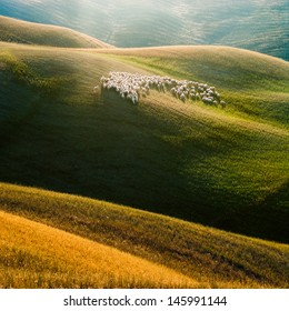 Sheep on the Tuscany hill