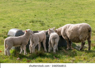 Sheep at One Tree Hill in Auckland, New Zealand