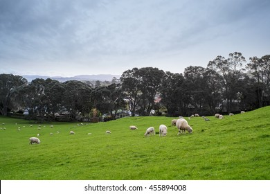 Sheep at One Tree Hill, Auckland, New Zealand