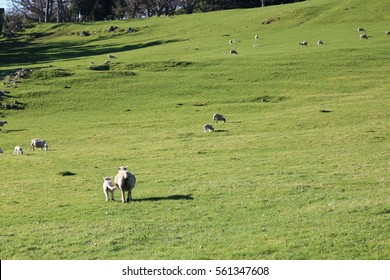 Sheep at One Tree Hill Park Domain, Auckland, New Zealand