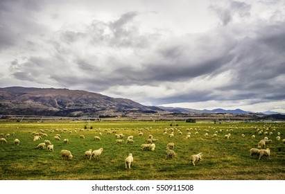 Sheep in open meadow under a cloudy day, New Zealand.
