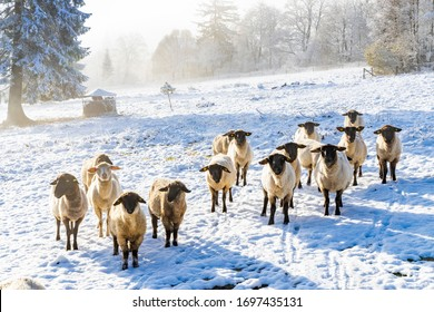 Sheep in Orlicke hory, Eastern Bohemia, Czech Republic - Shutterstock ID 1697435131