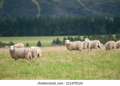 Sheep over a hill