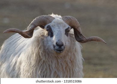 The sheep (Ovis aries) is a quadrupedal, ruminant mammal typically kept as livestock. Like all ruminants, sheep are members of the order Artiodactyla.