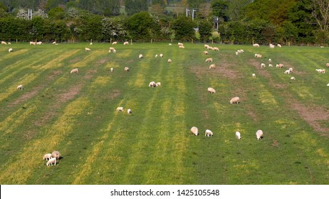 sheep pasture farmland in northamptonshire england uk at spring time