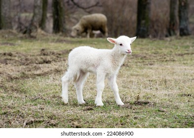 A sheep in a pasture of grass