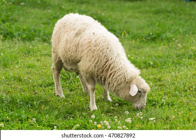A Sheep In Pasture Of Green Grass