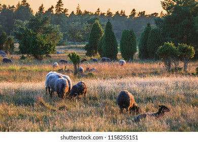 Sheep in the pasture on island Gotland, Baltic Sea, Sweden