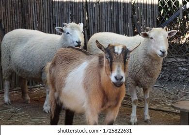 Sheep in petting zoo with goat.