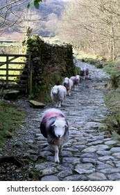 Sheep play follow my leader down a country footpath.
