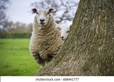 Sheep playing peek-a-boo