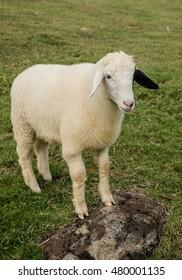 Sheep Portrait, close up face sheep in rural livestock farm