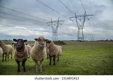 Sheep posing for the camera underneath powerlines in Victoria Australia