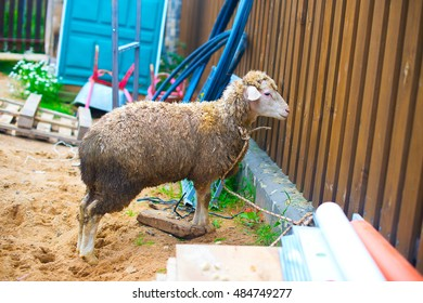 Sheep prepared for islamic religion ritual killing ram on Kurban Bairam Holiday