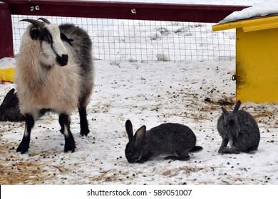 sheep and rabbits
