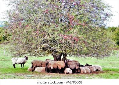 Sheep of race Latxa of black face, sheltering of the cold under a bush of endrina, Natural Park Urbasa, Urederra River, Navarra, spain,