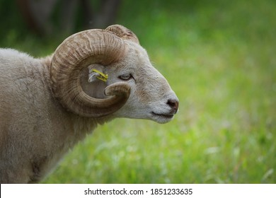 A sheep ram with horns walking on a sunny meadow. Farming. Livestock.