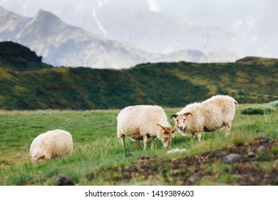 sheep and ram in a pasture against a grass back in Iceland