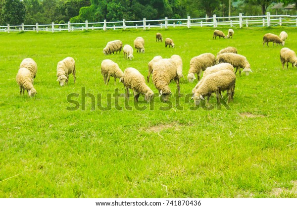 Sheep Reared On Farm Grassland Chopping Stock Photo (Edit