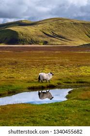 Sheep reflected in pond of water, Landmannalaugar, Iceland