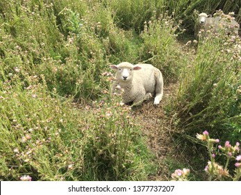 Sheep resting in long grass and brambles. Little lamb who made thee?