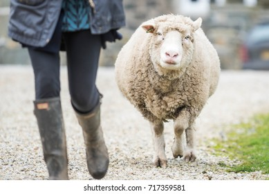 Sheep running after its owner